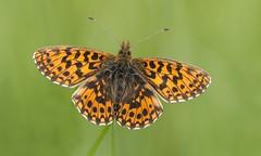 Weaver's Fritillary (Boloria dia). (Bob Eade) Tags: butterflies cevennes lepidoptera france fritillary weaversfritillary boloriadia macro micro butterfly nikond610 nature wildlife