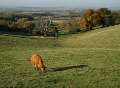 A view across to Stewartby (Jayembee69) Tags: beds bedfordshire england uk unitedkingdom ampthill houghtonhouse stewartby view cow meadow chimney landscape greensandridge walk countryside
