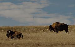 Bison Duo (Karen McQuilkin) Tags: lifeontherange path island animal mammal massive bisonduo giveemspace