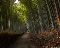 Arashiyama Bamboo Grove (Jirawatfoto) Tags: bamboogrove kyotocity kyotoprefecture japan arashiyama singlelaneroad nopeople nature forest horizontal sunlight absence beautyinnature colorimage day growth outdoors photography shadow thewayforward tranquilscene