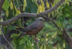 _DSC3095 (selim.ahmed) Tags: birds bangladesh uttora uttara dhaka smallbirds