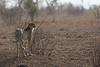 2016 10 16_Cheetah-1.jpg (Jonnersace) Tags: cheetah africa safari canon satara kruger