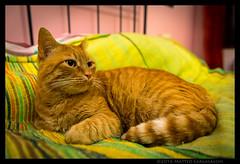 Non il solito gatto rosso (Teone!) Tags: casa gatto ross rossini rocky letto bed relax pet