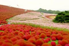 Hitachi  Park (linwujin) Tags: asia japan hitachipark flower red yellow fujifilm xt1 xf1655 pink green tree