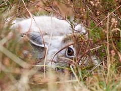 Hiding Hares (daveh_72) Tags: mountainhare lepustimidus hares mammals lagomorphs nature wildlife panasonic lumix gx80 canon 400mmf56l legacy manualfocus