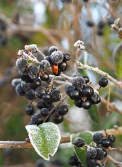 Bed among the berries (badger_beard) Tags: berries ladybird marienkäfer nyckelpiga coccinelle black winter hiver frost frosty bush roadside sunrise morning december