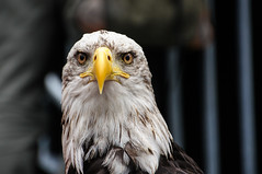 Eagle Eye (DSC01285) (Digicam-Beratung) Tags: greifvgel tiere vgel kln nordrheinwestfalen deutschland de adler eagle bird