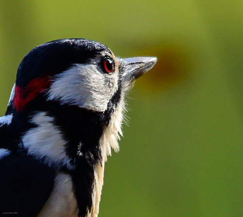 Sharp looking great spotted woodpecker