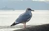 6380 Herring gull - Larus argentatus (Andy - Busyyyyyyyyy) Tags: 20161105 menaistraits mmm sss water www