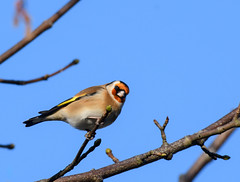 Goldfinch (Fife101) Tags: blue sky kinross scotland perth fife loch leven rare winter rowan wildlife bird tree branches outdoor animal goldfinch gold finch red