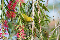 African yellow white-eye (Zosterops senegalensis) in Bottlebrush tree (Dave Montreuil) Tags: africa wild flower tree bird nature animal yellow adult african wildlife south east malawi perched bottlebrush whiteeye foraging perching zosterops senegalensis hangingadult