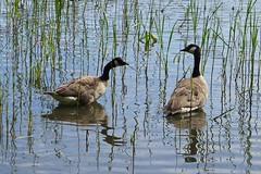 Branta canadensis among reeds (EilaK: Visit my nice galleries too!) Tags: birds helsinki brantacanadensis vuosaari aquaticbird kallahti kanadanhanhi
