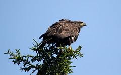 Bald Eagle - Immature (jd.willson) Tags: nature birds island bay eagle wildlife birding maine bald jd immature juvenile penobscot willson islesboro jdwillson
