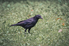 Carrion crow (Propangas) Tags: bird japan jp