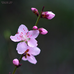 Spring pink (OzzRod (catching up)) Tags: pink flowers plants wet cherry droplets pentax blossom closeups k5 smcpentaxk85mmf18 pentaxsingleinseptember2015