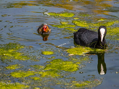 This is the way (JKmedia) Tags: light summer baby lake reflection green nature water duck spring wings babies feathers young bald chick stourhead aquatic waterfowl wiltshire nationaltrust coot pondweed fulicaatra canoneos5dmkiii boultonphotography