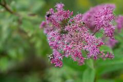Harvest (matthewthecoolguy) Tags: flowers brown green nature purple sony harvest pollen bumblebees sonyalpha sonya6000