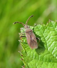 Coriomeris denticulatus - Coryton, Essex 2015a (Steven Falk) Tags: steven falk leatherbug coriomeris denticulatus denticulate