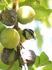 Blue tit enjoying greengage (Nevrimski) Tags: blue tit greengage
