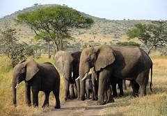 Tanzania (Serengeti National Park) Elephants on the march keeping babies inside