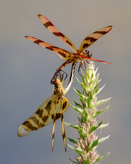 Halloween Love (tresed47) Tags: us dragonflies pennsylvania content insects places folder takenby chestercounty 2015 halloweenpennant peterscamera petersphotos platinumheartaward canon7d brandywinekardon 201509sep 20150901chestercountymacro