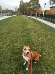 Omen on the 606 (lexzion) Tags: dog chicago bike cycling chitown pit bull pitbull trail omen pitbulls amstaff 606 sogs