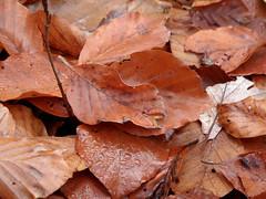 Buchenlaub (onnola) Tags: autumn leaves germany deutschland wasser laub herbst dew tau bltter beech koblenz wassertropfen tropfen fagus rheinlandpfalz buche rhinelandpalatinate arzheim
