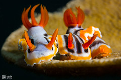 _MG_3681-17032015-Romblon_copia (azotati2011) Tags: underwater nudibranch romblon filippine