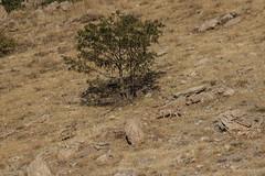 Wolf (katyarud) Tags: animals israel wolf  hermon    canislupus