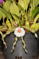 Trichopilia tortilis 2015-10-12 01 (JVinOZ) Tags: orchid trichopilia orchidspecies