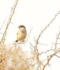 #طير #bird (photography AbdullahAlSaeed) Tags: bird طير