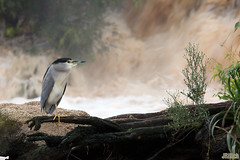 Night Heron after the rain, Nachtreiher, אנפת לילה, Nycticorax nycticorax @ HaYarkon Park in Tel-Aviv, Israel 2015 urban nature (Jan Rillich) Tags: park november autumn urban sun fall nature beautiful beauty rain animal fauna digital photography eos israel photo waterfall telaviv flora foto fotografie wasserfall image jan wildlife picture free sunny urbannature guest afterrain blackcrownednightheron nycticoraxnycticorax 2015 animalphotography nightheron hayarkon nachtreiher nahalhayarkon אנפתלילה janrillich rillich