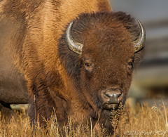 The Bison of Yellowstone (GNPlover) Tags: park buffalo montana bull basin national yellowstone wyoming geyser bison thermal