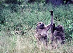 Yes, right there! Pentax MX M50/1.7 1981 Kodachrome (aeomaster32) Tags: wildlife animals krugerpark krugernational pentax mx m5017 kodachrome film baboon