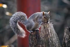 (chicco_u) Tags: parco torino valentino scoiattolo
