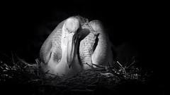Pelikan (Barbara Zemann) Tags: blackandwhite white black bird animal zoo pelican pelikan