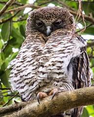 Powerful owl (ben.roberts999) Tags: bird animal outdoor wildlife owl powerful birdsofprey