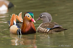 101102_154616.jpg (marc1bert) Tags: oiseaux faune canardmandarin oiseauxdeau
