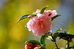 """さざんか (山茶花) /Camellia sasanqua (nobuflickr) Tags: flower nature japan botanical kyoto 日本 山茶花 camelliasasanqua camellia 花 """"the garden"""" さざんか 京都府立植物園 awesomeblossoms ツバキ科ツバキ属 20151111dsc01504"""