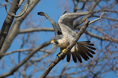 """Peregrine Falcon"" (Jesse_in_CT) Tags: peregrinefalcon tamron150600mm"