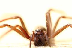 arthropod (dagomir.oniwenko1) Tags: color macro canon spider indoor spinner arthropod thelook supersix thebestofday gnneniyisi spiritofphotography canoneos60d canonef100mmf28lmacroisusm thegalaxyaward