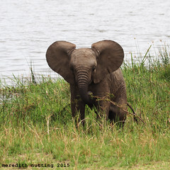 Tough Baby Elephant (meredith_nutting) Tags: africa baby elephant young rwanda herd africanelephants ellies eastafrica easternafrica breedingherd