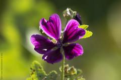 The Color Purple (Rick & Bart) Tags: domeinkiewit rickvink rickbart canon eos70d nature flower flora hasselt bloom purple gnneniyisi thebestofday