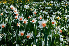 Narcissus (Asteria D.) Tags: green nature plant flower colorful hyacinth closeup