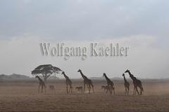 10076055 (wolfgangkaehler) Tags: 2016africa african eastafrica eastafrican kenya kenyan amboseli amboselikenya amboselinatlparkkenya amboselinationalpark wildlife mammal giraffe giraffes giraffacamelopardalistippelskirchi herd tower group burchellszebra burchellszebraequusquagga burchellszebras dust dusty duststorm duststorms