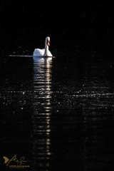 Mute Swan (ABPhotosUK) Tags: anatidae animals birds canon cygnusolor devon ef14xextenderiii ef100400mmisii eos7dmarkii effects lopwelldamnaturereserve lowkey muteswan reflection rivertavy swlakestrust swansducksandgeese teleconverter wildlife