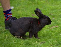 Pet Rabbit (swong95765) Tags: rabbit pet animal grass exercise park cute fun