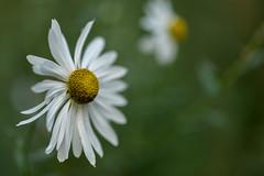 Blumen gehen immer (mkniebes) Tags: flower bokeh nature dof makroplanar2100 closeup green autumn white yellow pistils bokehlicious