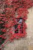 Rote Gardinen (julia_HalleFotoFan) Tags: wilderwein jungfernrebe parthenocissusquinquefolia parthenocissus