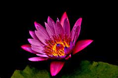 DSC_0010 Water Lily (tsuping.liu) Tags: outdoor organicpatttern blackbackground bright blooming aquaticplant water waterlily nature natureselegantshots naturesfinest flower lighting